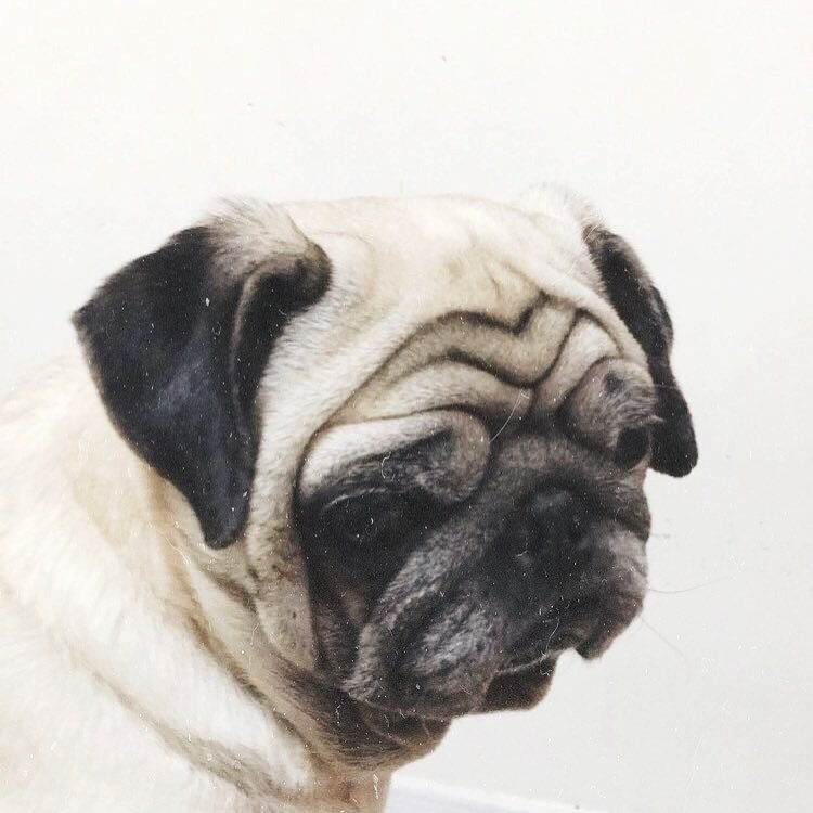 Look at this face Just look at this dobbiethepug pugsnotdrugshellip