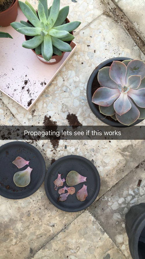 propagating-succulents